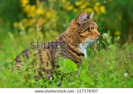 Cat listens attentively in the grass in the meadow. Cat walking outdoors