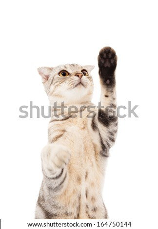 cat looking and lifted paw to capture - stock photo