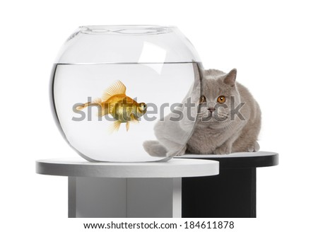 Cat looking at a goldfish in a fish bowl - stock photo
