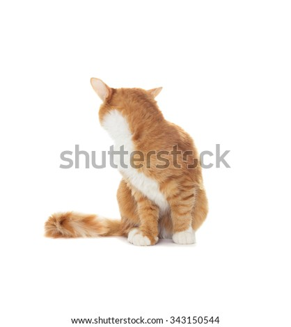 cat looking back on a white background