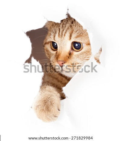 cat looking in paper side torn hole isolated - stock photo