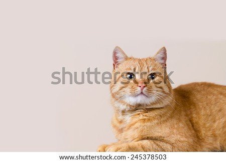 Cat looking up - isolated on grey background.