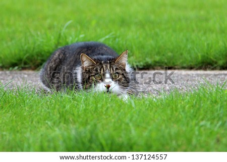 Cat lurking in the grass