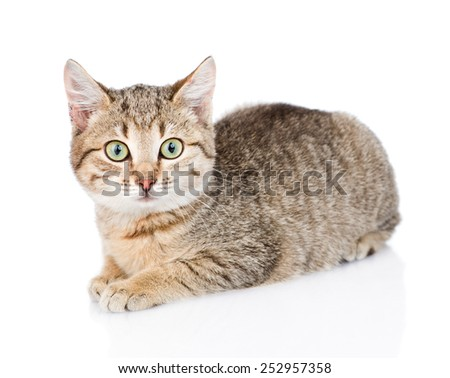 cat lying and looking at camera. isolated on white background