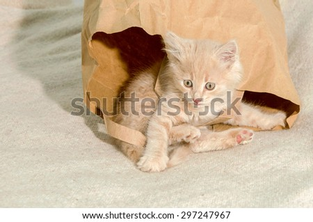 cat lying in a brown paper bag,  image taken indoors in Reno