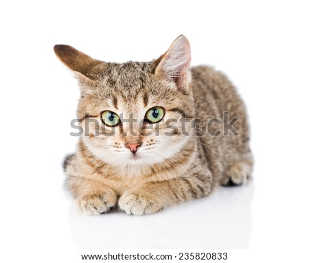 cat lying in front and looking at camera. isolated on white background