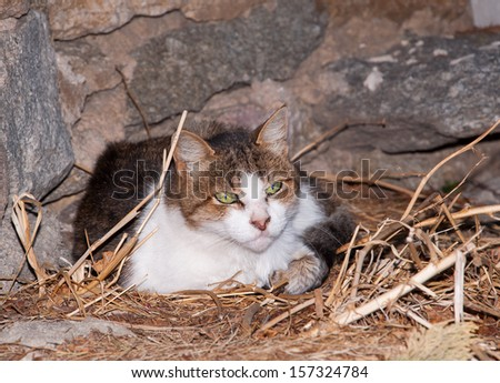 Cat lying in the dry grass around the house. Greece. Mykonos - stock photo