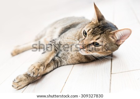 Cat lying on the white wooden floor - stock photo
