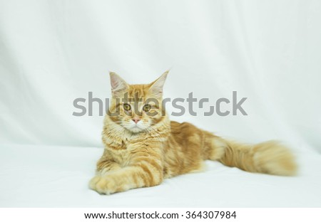 Cat Maine Coon breed lying in isolated on white background - stock photo