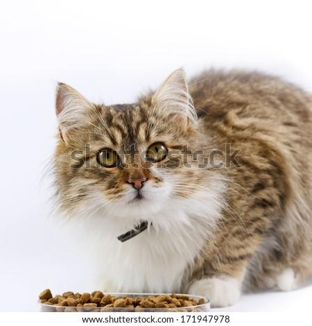 Cat - (Maine Coon) eats - stock photo