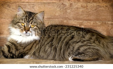 Cat - Maine Coon (main coon) posing - stock photo