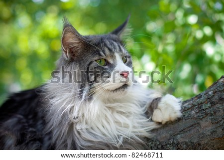 Cat Maine Coon open air - stock photo
