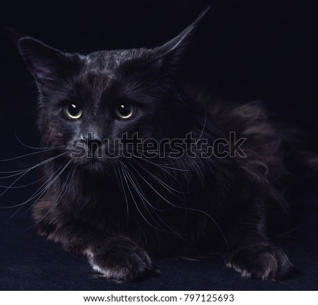 cat Makoun on a black background, purebred cat