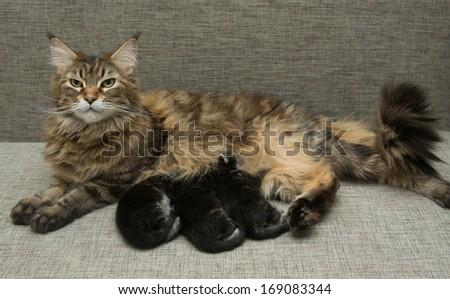 cat milk feeding her kittens - stock photo