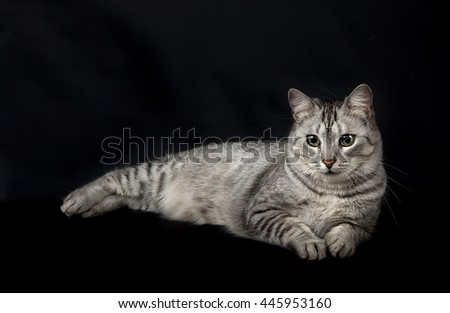 Cat model in studio in dark background. British Shorthair female Cat Sitting on Black Isolated Background and Looking up with Interest, Side view - stock photo