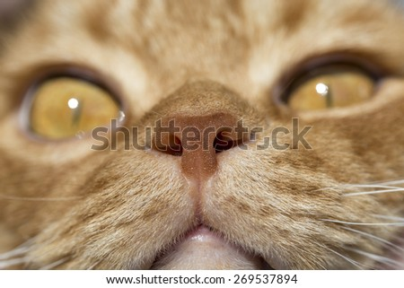 Cat nose close up photo with eyes in remote perspective - stock photo