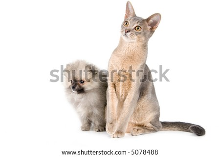 Cat of Abyssinian breed and the puppy of the spitz-dog - stock photo