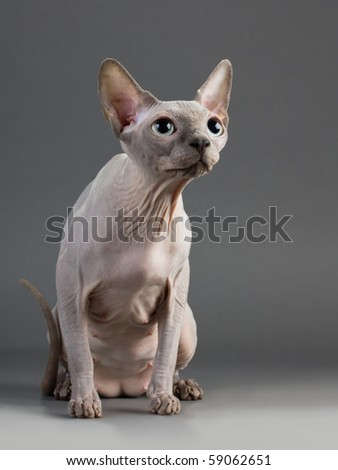Cat of breed the Canadian Sphynx. - stock photo