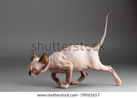 Cat of breed the Canadian Sphynx.