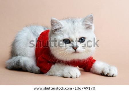 Cat of the British breed. Rare coloring - a silvery chinchilla - stock photo