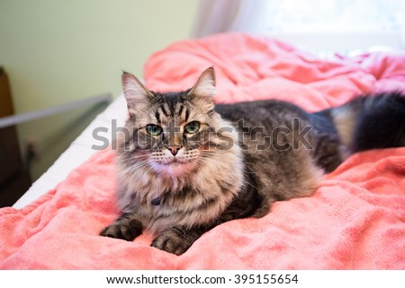 Cat on a bed with a pink blanket underneath while resting. - stock photo