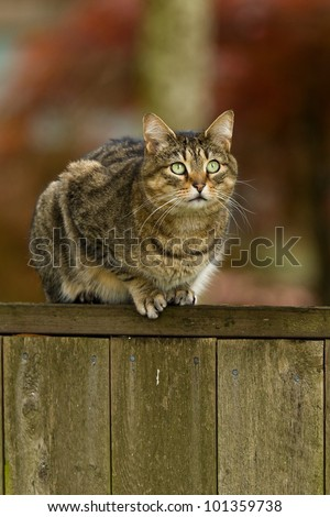 Cat on a fence. Neighbors cat is staring at photographer. - stock photo