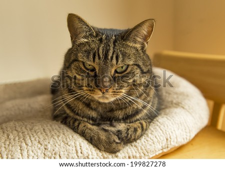 Cat on table. This is a Scottish Tabby Cat on her comfortable bed. - stock photo