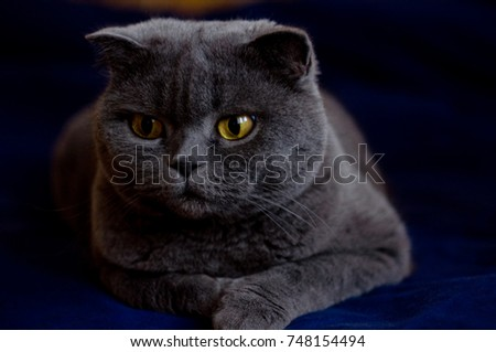 Cat on the dark blue cloth