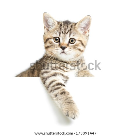 Cat or kitten isolated on white