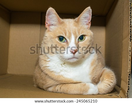 Cat orange white tabby playing happily in a cardboard box - stock photo