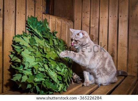 Cat playing in sauna interior. Accessories and interior of Finnish sauna - stock photo