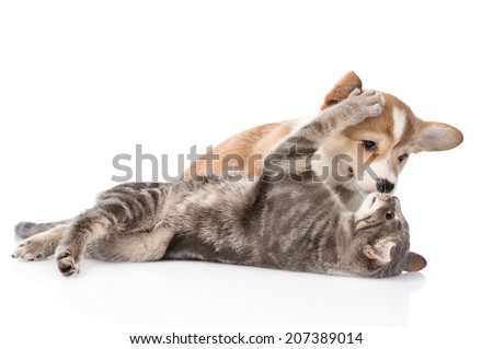 cat playing with a dog. Isolated on white background - stock photo