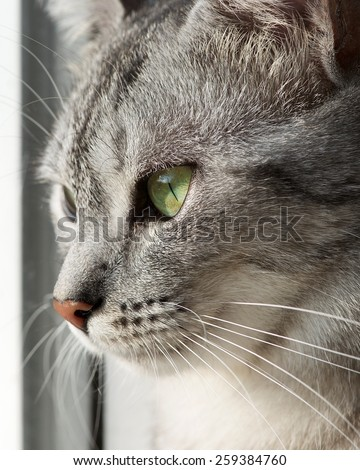 Cat portrait close up, only head crop, looking straight, cat in light dirty background with space for advertising and text, cat head only, grey serious cat - stock photo