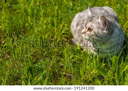 cat portrait on a background of a green grass