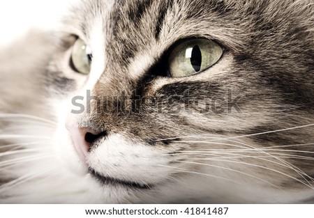 Cat  posing closeup - stock photo
