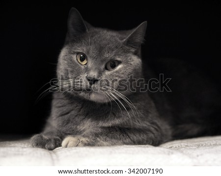 Cat's-eye. Cheshire cat. British Shorthair  of a cat. British Shorthair cat breed. The sight of a cat. Pet the animal on a black background. Graceful and proud cat. The Cheshire smile - stock photo