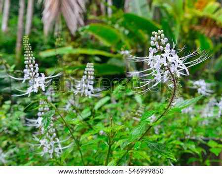cat's whiskers java tea flower in Hawaii botanical garden