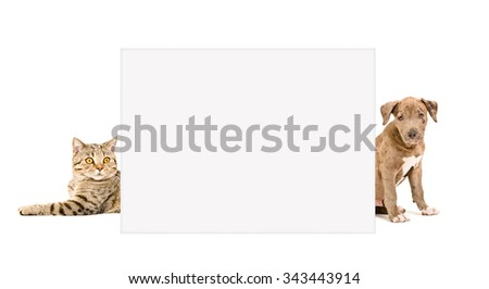 Cat Scottish Straight and puppy pit bull peeking from behind  placard, isolated on white background - stock photo