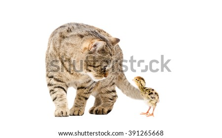 Cat Scottish Straight and quail together isolated on white background - stock photo