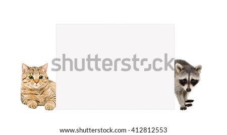 Cat Scottish Straight and raccoon, peeking from behind banner, isolated on white background