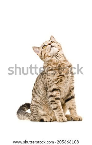 Cat Scottish Straight sitting curious to looking up - stock photo