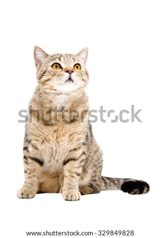 Cat Scottish Straight, sitting looking up, isolated on white background