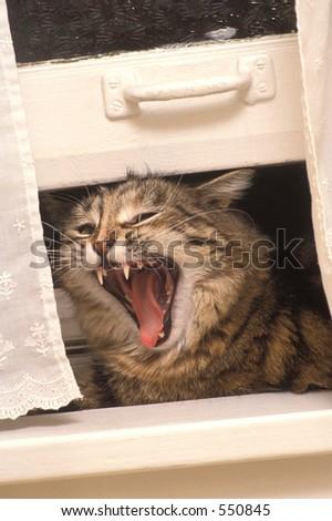 Cat Scream - stock photo