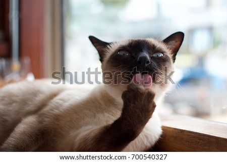 cat, Siamese cat