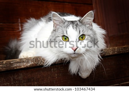 cat Siberian breed, grey and white colors of wool. Sitting in a village on the porch of the house. - stock photo