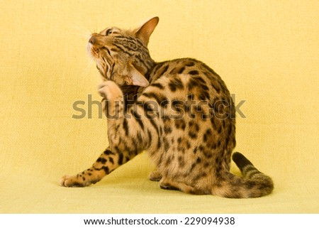 Cat sitting down and scratching itchy ear head on yellow background  - stock photo