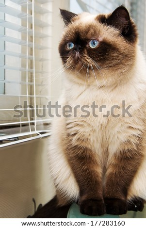 Cat sitting near window blinds - stock photo