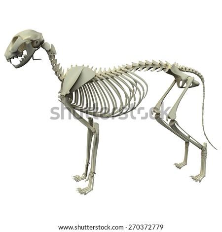 Cat Skeleton Anatomy Side View Stock Illustration 270372779 ...