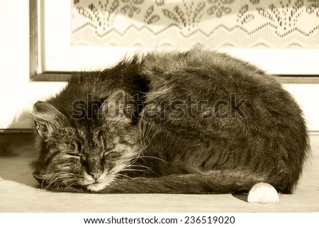 Cat sleeping on a windowsill of an old rural house with lace curtain decorating the window. Aged photo. Sepia. - stock photo