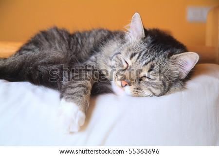 cat sleeping peacefully - stock photo